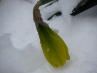 many daffodils got laid over by wind and snow