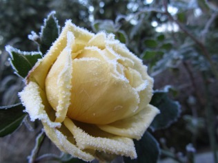 winter rose 1