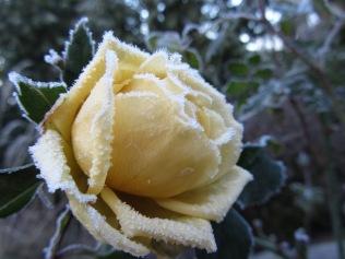 winter rose 1