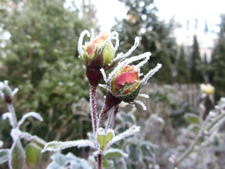winter rose 2