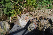 buds on 'Twisted Cherry'