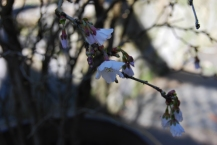 first blooms on 'Twisted Cherry'