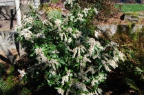 Peris in full bloom