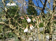 'Twisted Cherry first blooms