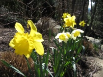 Daffodils coming up everywhere