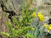 small Yew and Daffodils